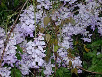 Wisteria sinensis glicine a fiore blu semilandia for Glicine bonsai prezzo