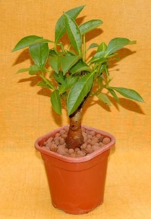 PIANTINA di albero di Baobab ADANSONIA DIGITATA ALBERO DELLA VITA indoor bonsai