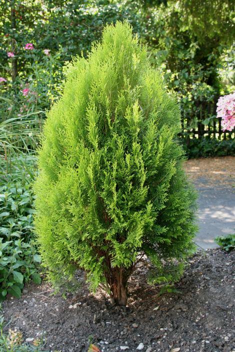 Thuja occidentalis tuia occidentale semilandia for Tipos de pinos para jardin fotos